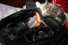 Take a picture of me, please! (Lon Winchester Photography) Tags: canonrebelt5i canonef50mmf18stm kitten sweetkitten littlecat catsphotos beautifulcat lovelykitten camporn lensporn canonequipo sigmaart sigmaartlens canoneos6d canonsx50hs mycat mykitten ilovemycat