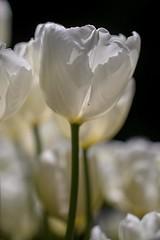 White Tulips (haberlea) Tags: garden mygarden plant flower tulips tulip tuliphakuun flowers petals white nature macro green