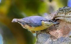 Nuthatch into nest