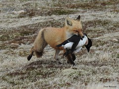 RSCN9849    The  Fox brings home lunch for kits a Razororbill.    Cape St Marys Ecological Reserve. Newfoundland. (derekhammond503) Tags: