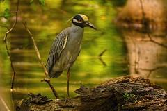 One-Legged Yellow Crested Night Heron (brev99) Tags: d610 tamron70300vc oxleynaturecenter yellowcrestedheron heron bird highqualityanimals topazdetail nikviveza photoshopelements18 reflections water nikdfine nikoutputsharpener ngc