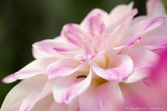 20170821-5003 (v.gruijters) Tags: flower bloem dahlia