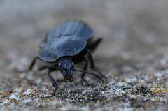 Laufkäfer (Carabidae) (Maexel Fotografie) Tags: garden schräbergarten gartenliebe gartenbilder laufkäfer carabidae käfer