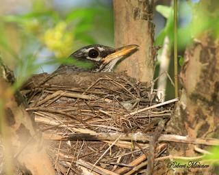Mrs. Robin on Her Nest
