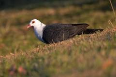 White-headed Pigeon_3726E (Columba leucomela) (Neil H Mansfield) Tags: pigeon native nature white whiteheadedpigeon columbaleucomela dove laurieton