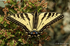 Western Tiger Swallowtail (Bob Gunderson) Tags: butterflies california insects lakemerced northerncalifornia sanfrancisco westerntigerswallowtail wildlife