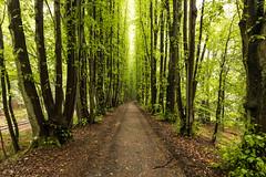into the woods [II] (dadiolli) Tags: erpel rheinlandpfalz deutschland de allee alley buchenwald wald forest wood