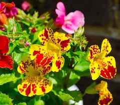 Minimus in my garden - 2 (pondhopper1) Tags: minmus flowers mygarden