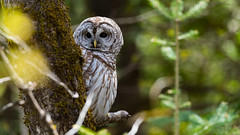 Barred Owl (Our Local Wildlife) Tags: barredowl
