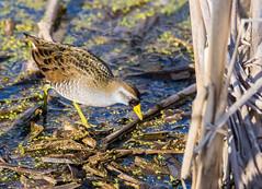Marouette de Caroline (anniebevilacqua) Tags: marouettedecaroline porzanacarolina oiseau bird marais swamp rallidé gruiforme oiseaudeau waterbird maraiscarbonneau