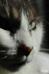 my tiger....MILOU (FLOCVROFF) Tags: eyes cat chat macro animal smileonsaturday eyecatcher artwithyourheart