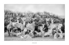Family photo (AnthonyCNeill) Tags: deer animals blackandwhite schwarzweiss blanco negro blancetnoir group photo pose tiere outdoor nature naturaleza portrait
