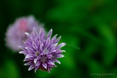 Garden flower (Koelman2008) Tags: garden flower tuin bloem paars purple nature macro closeup natuur photography dichtbij beestje insect