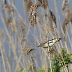 Reed Warbler  P1720338 thumbnail
