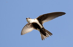 White-throated Swift (mattag2002) Tags: