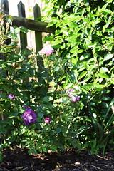 DSC_0014 (PeaTJay) Tags: nikond750 sigma reading lowerearley berkshire macro micro closeups gardens outdoors nature flora fauna plants flowers rose roses rosebuds