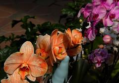 Le coin des orchidées chez le pépiniériste (bd168) Tags: orchidées orchids greenhouse pépinière flowers spring printemps xt10 xf50mmf2rwr depth offield
