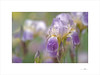 Kállos (E. Pardo) Tags: flores flowers blumen iris colores colors farben schönheit belleza beauty formas formen forms primavera frühling spring admont steiermark austria