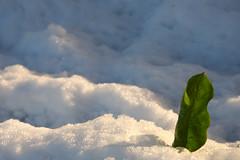 D7K_8190 (Xavier 64) Tags: neige feuille gif sur yvette vallée de chevreuse hiver snow leaf
