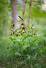 an amazing season (Tschissl) Tags: pflanzen karlschütt flowers steiermark orchids cypripedium orchideen orchid blumen