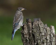 Eastern Bluebird, juvenile (AllHarts) Tags: juvenileeasternbluebird backyardbirds memphistn naturesspirit thesunshinegroup coth coth5