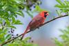Cardinal_4H4A5240 (bud_marschner) Tags: cardinal inmansouthcarolina
