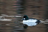 Sleepy goldeneye (Jevgenijs Slihto) Tags: d5600 nikon sigma sigma150600 bird duck goldeneye male commongoldeneye bucephalaclangula water pond reflection sleepy nature wildlife adult
