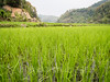 Rice paddies (whitworth images) Tags: agriculture paddy valley rice indiansubcontinent asia hills monsoon nepal kaski young green rural lush pokhara field