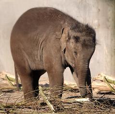 It's a hard days work (eric zijn fotoos) Tags: mammal fauna elephant animal olifant dier artis holland noordholland nederland thenetherlands sonyrx10m3