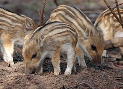 Wild boar Apenheul BB2A9049 (j.a.kok) Tags: zwijn everzwijn wildzwijn boar wildboar babyboar babypig babyzwijn big piglet bergendal apenheul