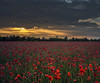 A beautiful, sad smile (Robyn Hooz) Tags: poppies papaveri tramonto sunset campo field contrast view glass smile sorriso sad happy eyes