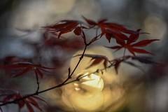 Japanese maple and April sunset. (agnieszka.a.morawska) Tags: sunset april wiosna spring nature macro dof nikon helios44m helios beyondbokeh bokehlicious japanesemaple bokeh
