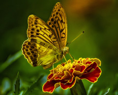 Butterfly Summit 3 (laxwings) Tags: nature butterfly fineart flowers floral botanicalgarden photoshopartistry photoartistry photomanipulation
