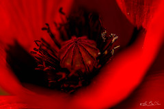Au centre du volcan...! - In the center of the volcano ...! (minelflojor) Tags: coquelicot pistil rouge noir anthère coeur macro bokeh flou poppy red black anther heart blur tamronsp90mmf28dimacro11vcusd