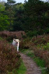 Happy Buddy (Jan-Willem Adams) Tags: adamsphotography bos buddy dog garderen gelderland gelderschlandschap hei honden labrador natuur nederland netherlands wildekamp nl