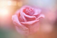 Roses of Steel... (KissThePixel) Tags: macro flower rose pink pinkrose steelrose steel metal stilllife stilllifephotography soft pastel nikon creativephotography texture bokeh light softness dreamy spring april nikond750 50mm f14