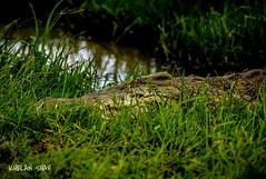 Croc (khelan919) Tags: nature kenyaphotos kenya nairobinationalpark wildlifephotography africansky animalplanet wildlife crocodile