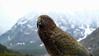 Tropical Snowbird (MrTheEdge7) Tags: newzealand mountain mountains mountainrange fjordland fiordland queenstown teanau southisland fiordlandnationalpark piopiotahi maori maui kea bird birds parrot parrots