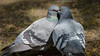 Big Kiss (Franck Zumella) Tags: pigeon kiss big love parade amoureuse oiseau bird nature animal amour spring printemps eye oeil yeux close closeup gros plan bisou baiser