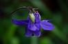 Aquilegia vulgaris (dnieper) Tags: flor silvestre aquilegia vulgaris