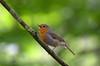 Rotkelchen (didibild) Tags: vogel rotkelchen