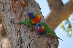 rainbow lorikeet (Val in Sydney) Tags: australia australie nsw head middle george sydney harbour bird oiseau