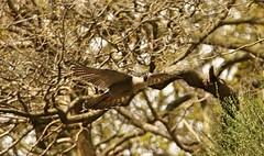 Peregrine Falcon (Bogger3.) Tags: peregrinefalcon inflight canon7dmk2 tamron150x600lens fullzoom handheld coth5 ngc
