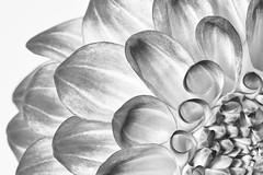 Black and White Dahlia (Joe_R) Tags: flower bw dahlia macro 6d canon sigma105mm highkey blackandwhite petals