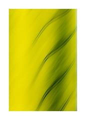 Field lines (catkin314) Tags: spring springtime rapefield lines golden icm intentionalcameramovement blur landscapeinportrait