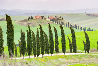 Cypresses in the wind