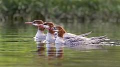 Mergansers in a Row (T L Sepkovic) Tags: waterfowl mergansers watebirds canon