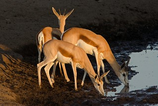 Springboks Drinking