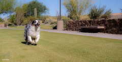 Running like the wind (Jasper's Human) Tags: aussie australianshepherd dog zoomies run joy