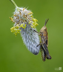 Saltamontes colgado (Explore 10-5-2018) (JoseQ.) Tags: macro saltamontes bicho animal insecto colgado verde